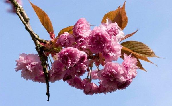 Wiśnia Piłkowana 'Pink Perfection' Sadzonka (Prunus serrulata)