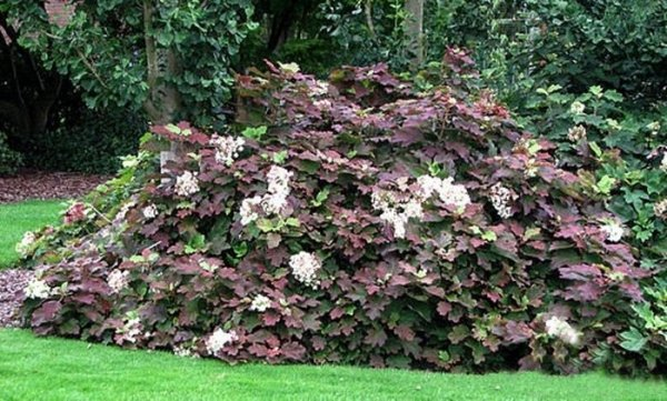 Hydrangea quercifolia sadzonka