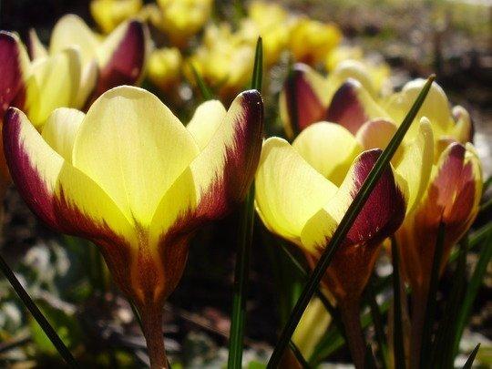 Krokus 'Advance' o żółto-purpurowych kwiatach