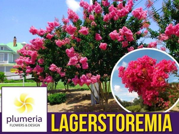 Lagerstroemia Purpurea (Lagerstroemia indica) Sadzonka