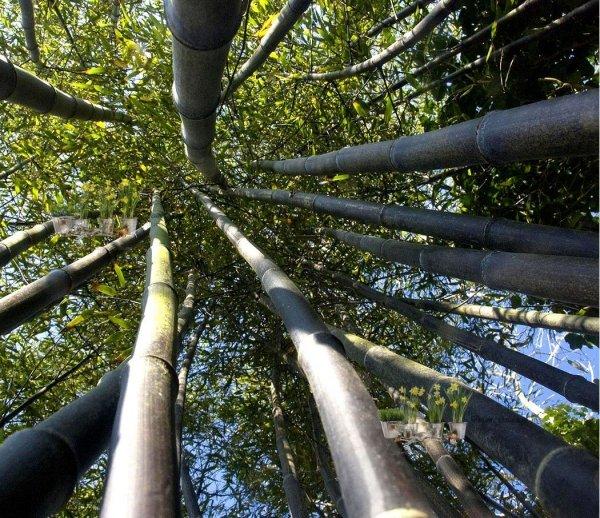 sadzonki bambusów