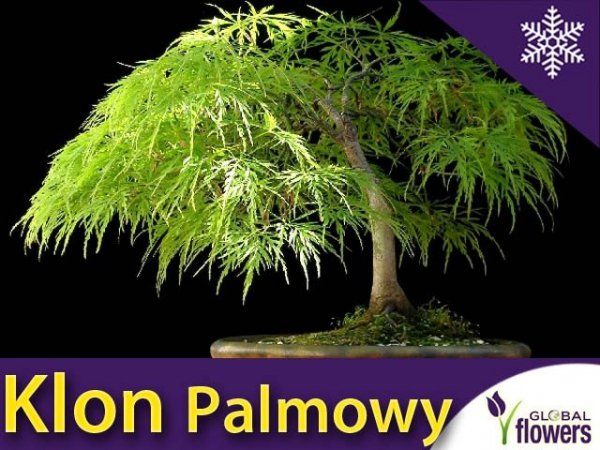 Klon Palmowy 'Dissectum' Szczepiony (Acer palmatum var.dissectum viride) Sadzonka