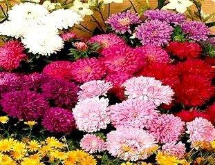 Aster doskonały na kwiat cięty