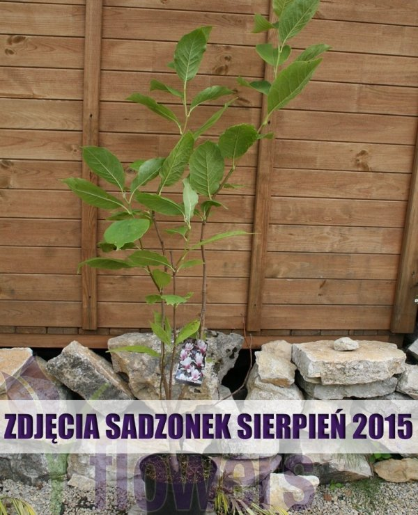Magnolia Soulangeana odmiany