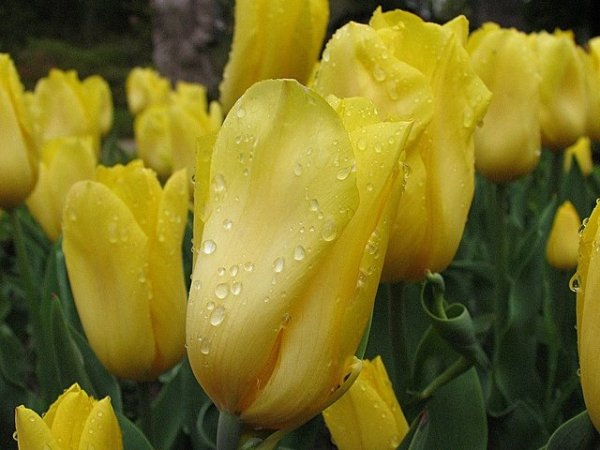 klasyczny żółty tulipan