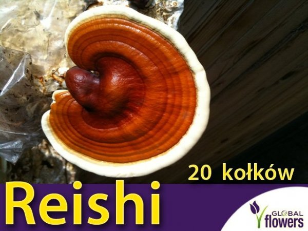 Reishi grzybnia