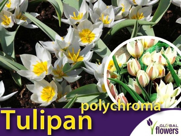 Tulipan botaniczny 'polychroma' (Tulipa) CEBULKI