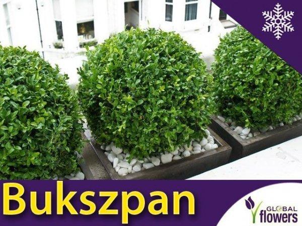 Bukszpan drobnolistny 'Faulkner' (Buxus microphylla) Sadzonka
