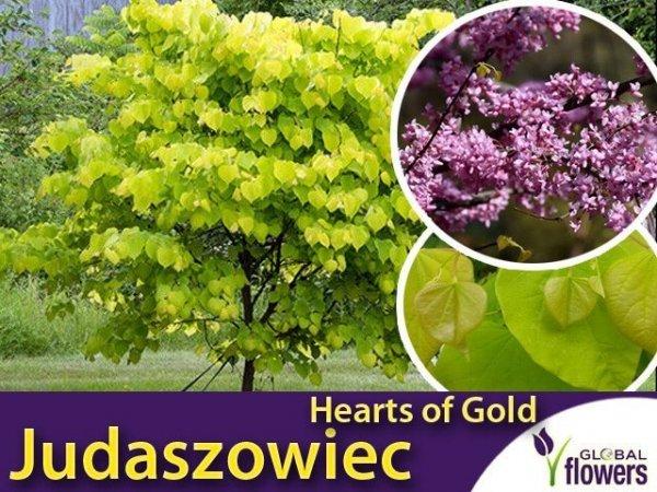 Judaszowiec 'Hearts of Gold' (Cercis canadensis) Sadzonka XL- C5