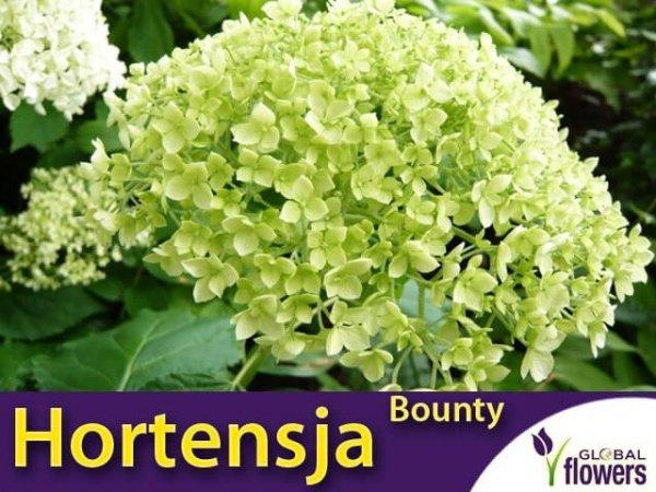 Hortensja drzewiasta 'Bounty' (Hydrangea arborescens) Sadzonka C3