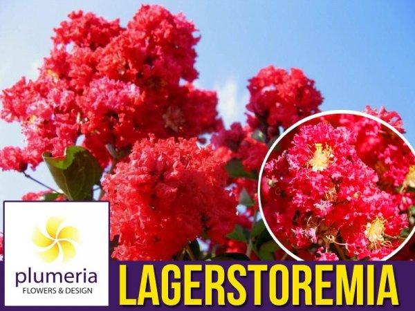 Lagerstroemia Petite Red (Lagerstroemia indica) Krzew który kwitnie 120 dni Sadzonka