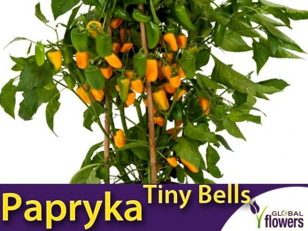 Papryka słodka 'Tiny Bells' żółta (Capsicum) Sadzonka
