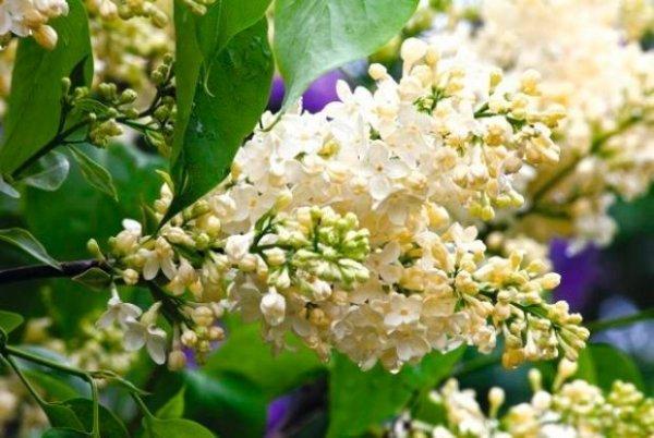 Syringa vulgaris 'Yellow Wonder'