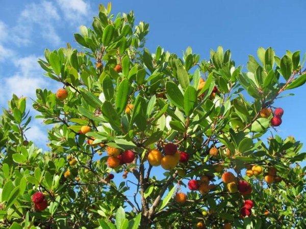 Sadzonki drzewka truskawkowego uprawa