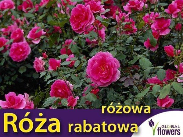 róża rabatowa Rosa gdzie kupić