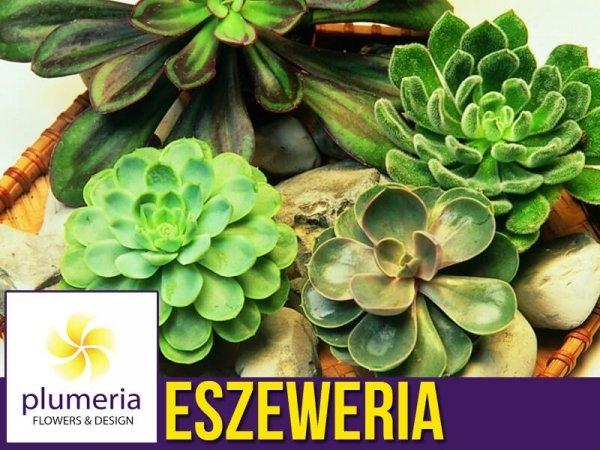 Eszeweria (Echeveria) Roślina domowa. Sadzonka P12 - M