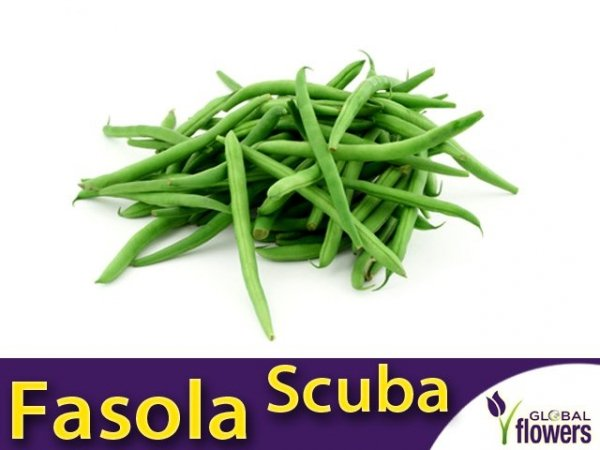 Fasola szparagowa karłowa zielonostrąkowa Scuba (Phaseolus vulgaris) XXL 500g