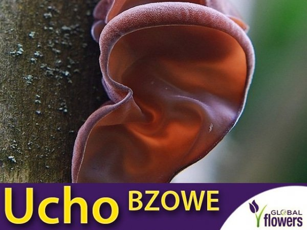 Ucho bzowe grzybnia