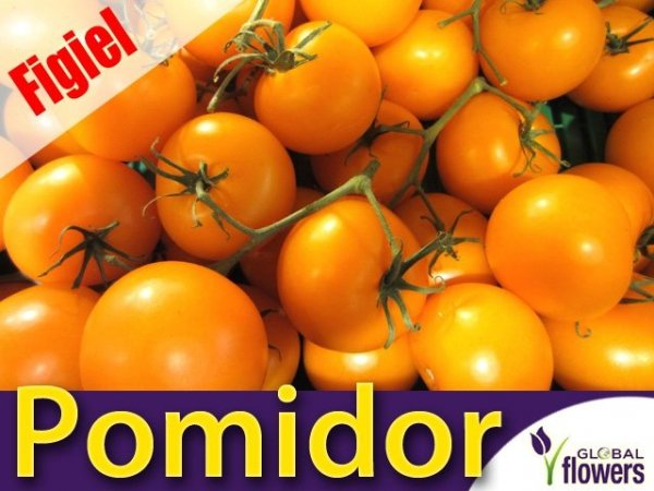 Pomidor gruntowy wysoki Figiel (Lycopersicon Esculentum)