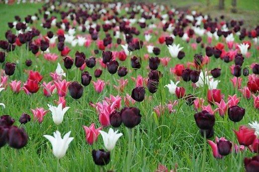 pełny czarny tulipan