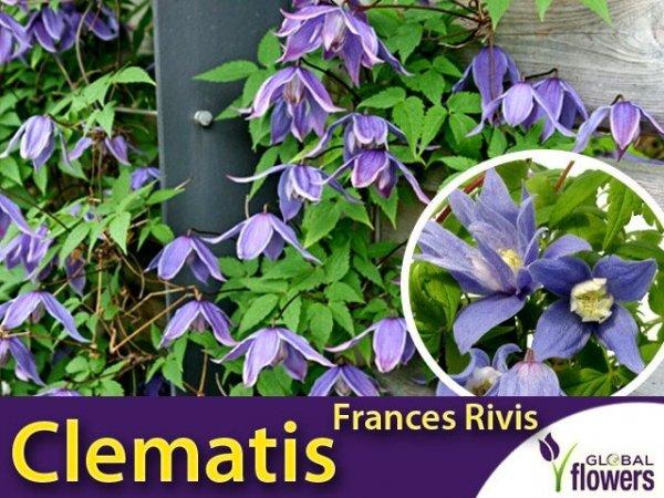 Powojnik botaniczny 'Frances Rivis' (Clematis) Sadzonka C2