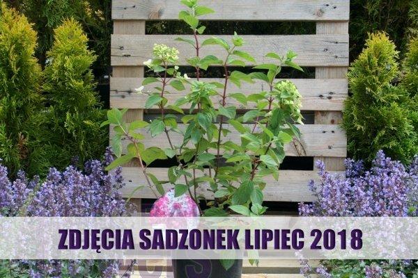 Hydrangea paniculata Diamond Rouge  cena odmiana uprawa