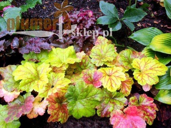 kolorowe liście żurawek
