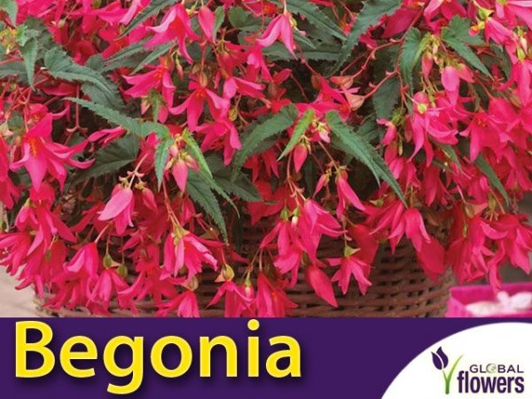 Begonia zwisająca różowa CEBULKA uprawa