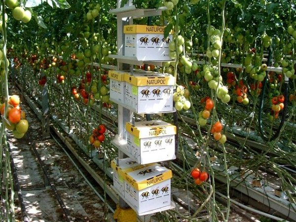 zwiększ plony w twoim ogrodzie ekologiczne zapylanie plantacja pomidorów
