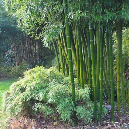 bambus ogrodowy gdzie kupić