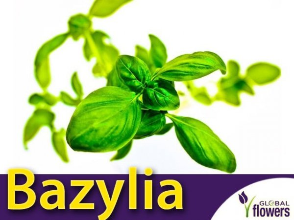 Bazylia właściwa zielonolistna (Ocimum basilicum) 1g