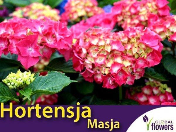 Hortensja ogrodowa 'Masja' różowo-czerwona (Hydrangea macrophylla) Sadzonka