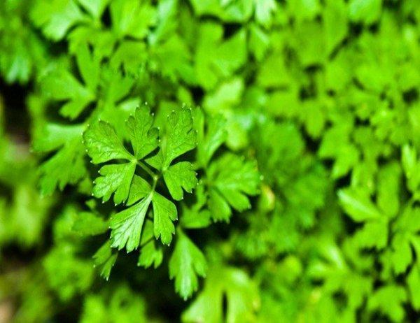 Pietruszka naciowa Gigante d' Italia (Petroselinum crispum) 2g