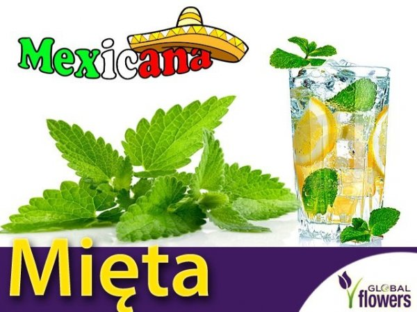 Mięta Meksykańska (Mexican Mint) 'Kubańskie Oregano'