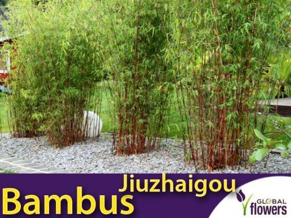 Czerwony Bambus Mrozoodporny