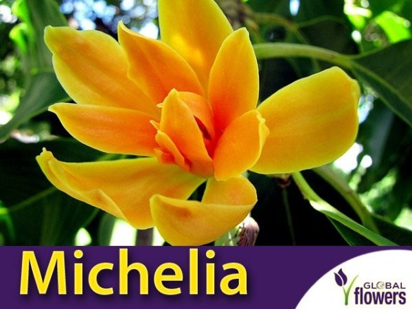 Michelia champaca Kwiat Perfum