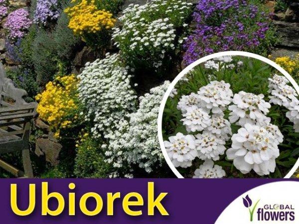 Ubiorek wiecznie zielony biały (Iberis sempervirens)