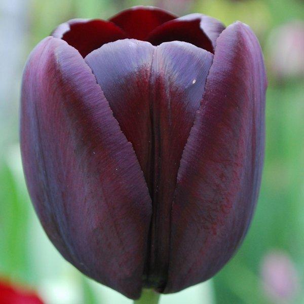 czarny tulipan cebulki