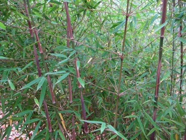 Bambus uprawa w donicy