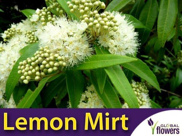 Mirt Cytrynowy (Backhousia citriodora)