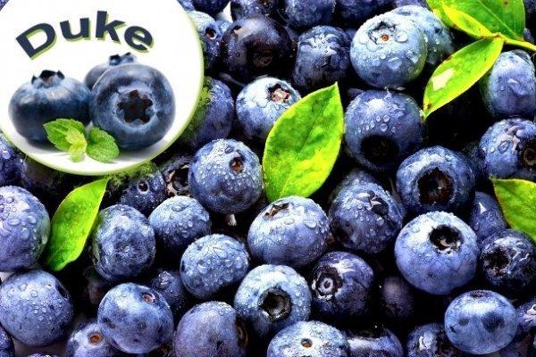 borówka wysoka właściwości owoców
