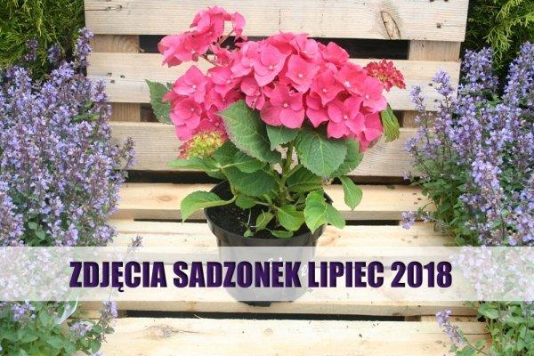 hortensja ogrodowa odmiany red cena
