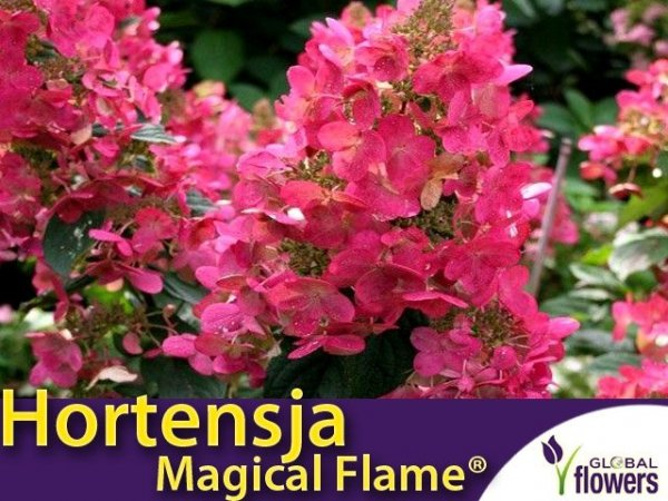 Hortensja bukietowa 'Magical Flame ®' sadzonka