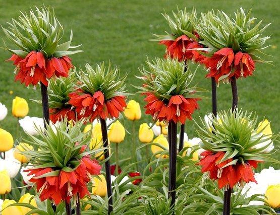 Niezwykle okazałe kwiaty Szachownicy