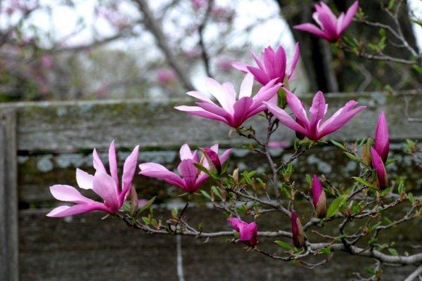 Piękna magnolia o różowych kwiatach