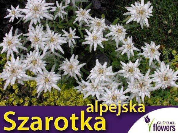 Szarotka alpejska biała (Leontopodium alpinum) 0.1g