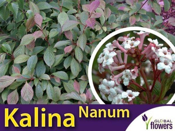 Kalina Wonna Nanum wczesne kwitnięcie