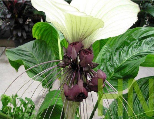 tacca kwiat nietoperz biały