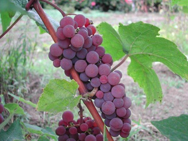 Winorośl bezpestkowa ciemna