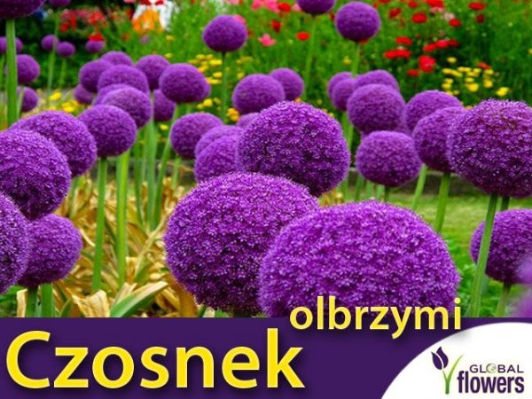 Czosnek Olbrzymi